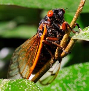 In this photo taken in 2011, a newly molted cicada dries out on a Hawthorne bush near a trail John Drew Tennis Center in Macon, Ga.