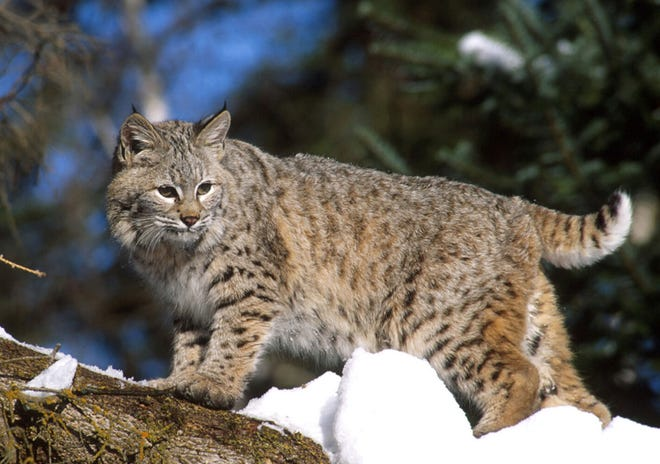 Bobcats are just one of the many animals that call the Edge of Appalachia Preserve home. See photographs and specimens from the preserve at Cincinnati Museum Center.