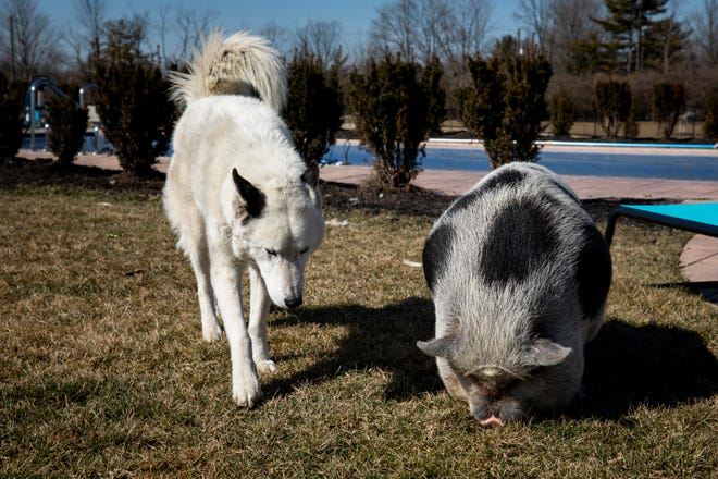 Arnold, a pot-bellied pig, and Jackson, a husky, play in their backyard.