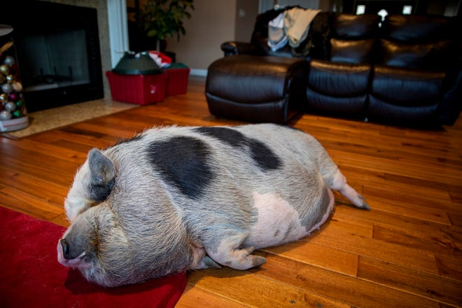 Arnold sleeps in the living room of her home in Clearcreek Township.She has become the center of two lawsuits about whether the animal should be considered livestock or a domestic pet.